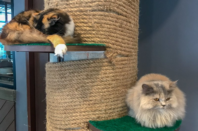Cat Cafe Chiang Rai