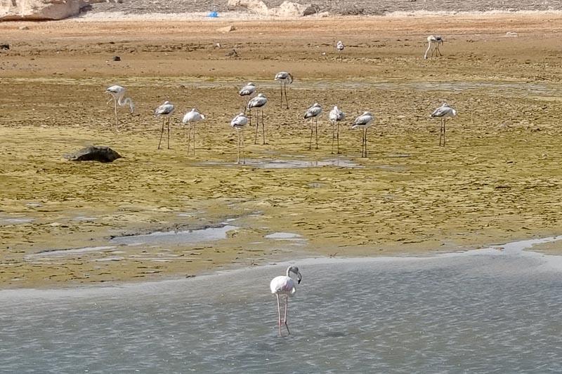 Flamingos in Oman