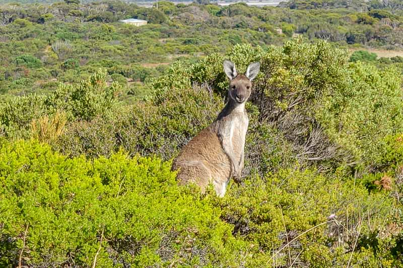 Innes National Park Kangaroo