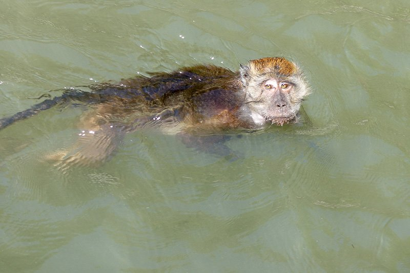 Swimming Monkeys