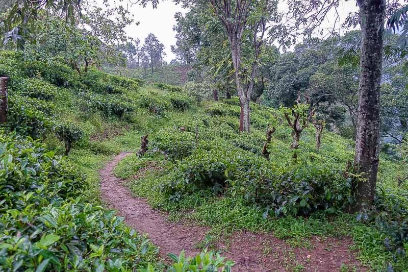 Ella Tea Plantation